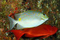 Spotted rabbitfish, Siganus guttatus, Bloch's bigeye, Priacanthus blochii, Similan Islands, Andaman Sea, off the coast of Phang Nga Province, southern Thailand, Indian Ocean
