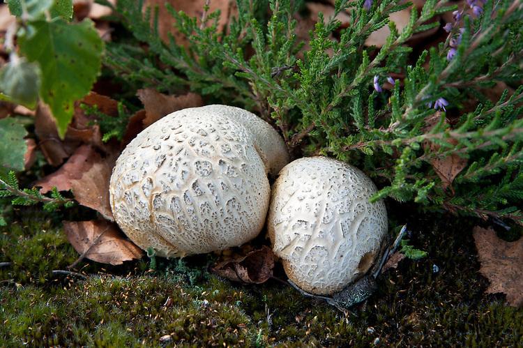 Common earthball (Scleroderma citrinum), heathland, Surrey, late August.