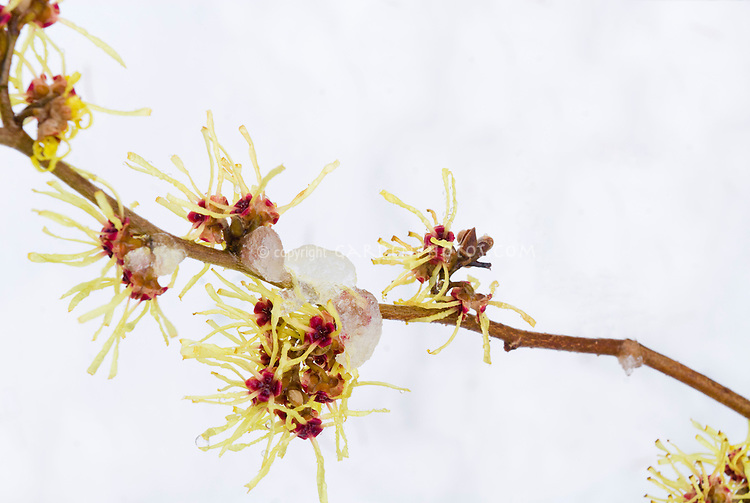 Witch hazel shrub Hamamelis Pallida in flower in winter snow and ice
