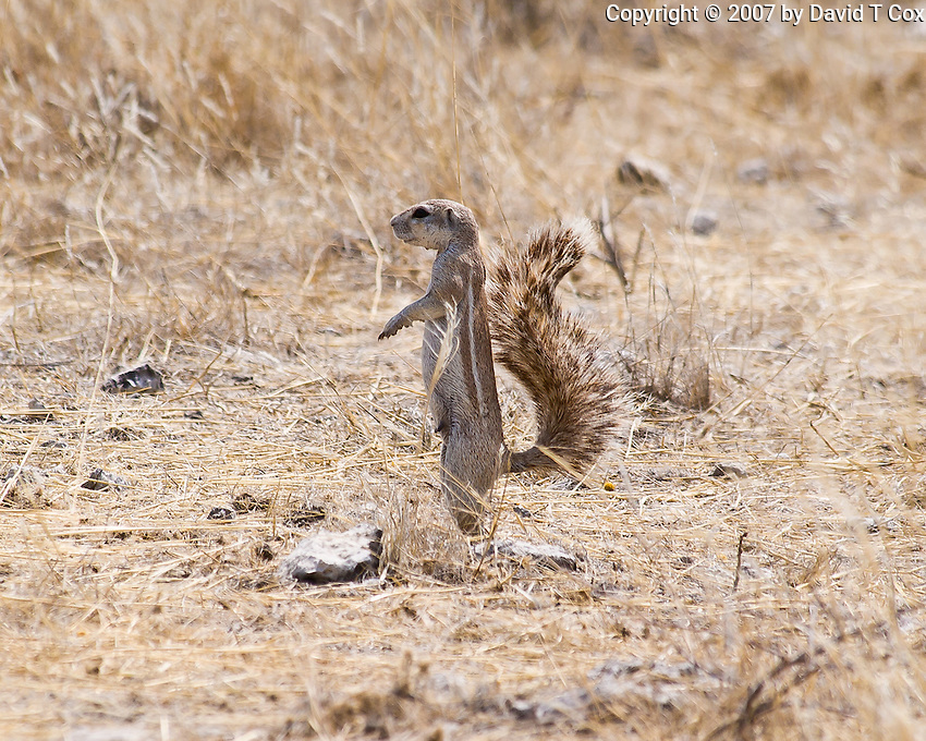 Ground Squirrel, Etosha NP, Namibia