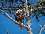 Bald eagle yearling perched on tree limb.