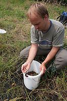 Junge Wechselkröten werden im Rahmen eines Amphibienschutz-Programmes von einem Biologen an einem geeigneten Gewässer ausgesetzt, Wechselkröte, Wechsel-Kröte, Grüne Kröte, Bufotes viridis, Bufo viridis, green toad