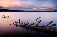 Log fallen into Lake Ozette, Tivoli Island, Lake Ozette, Olympic National Park, Washington, USA