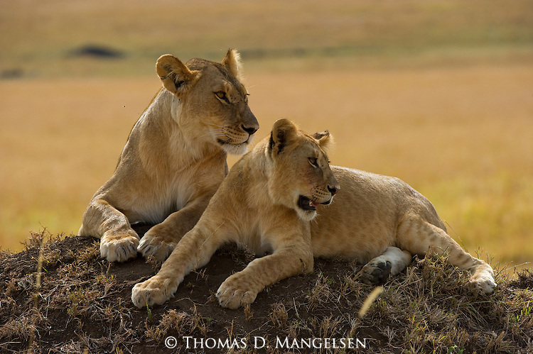 Two lions rest on a mound on the Maasai Mara plain in Kenya.