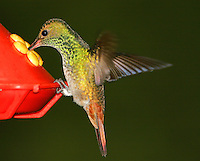 Adult male rufous-tailed hummingbird