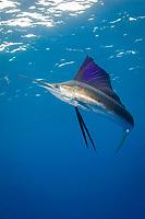 pelagic Atlantic sailfish, Istiophorus albicans, (considered by some to be a single species with Istiophorus platypterus), investigates a teaser bait Yucatan Peninsula, Mexico (Caribbean Sea) near Contoy Island, Isla Mujeres, Cozumel, Cancun (dm)