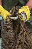 """France, Gironde (33), bassin d'Arcachon, Audenge, domaine de Certes, site classé Espace Naturel Sensible par le Conservatoire du littoral, - Jean-François Giese, le dernier pêcheur d'anguilles . L'anguille, appelée localement «pibale» ou civelle vit à proximité des vasières et dans les chenaux à l'intérieur du Bassin.  Auto N°:2013-142 // France, Gironde, Bassin d'Arcachon, Audenge, Delta de l'Eyre, Domaine de Certes listed by the Conservatoire du Littoral Authority as an Espace Naturel Sensible ie preservation area,  Jean-François Giese, the last eel fisherman. The eel, locally called """"glass eel""""  lives nearby mudflats and channels within the basin.<br />  Auto N°:2013-142"""
