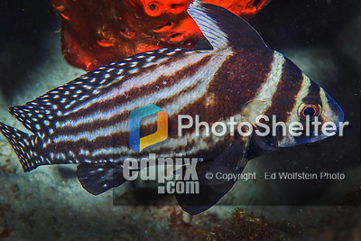 28 January 2016:  A Spotted Drum (Equetus punctatus) inhabits the reef at Captain Don's Habitat in Bonaire. Bonaire is known for its pioneering role in the preservation of the marine environment. A part of the Netherland Caribbean Islands, Bonaire is located off the coast of Venezuela and offers excellent scuba diving, snorkeling and windsurfing.  Mandatory Credit: Ed Wolfstein Photo *** RAW (NEF) Image File Available ***