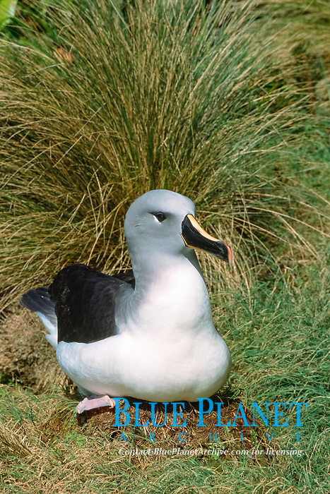 grey-headed albatross, Thalassarche chrysostoma, on nest, Bull Rock, North Cape colony, Campbell Island, New Zealand subantarctic