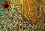 Surgeonfish Eye and Pattern