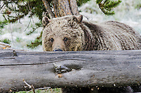 Grizzly Bear (Ursus arctos) peering over fallen log.  Northern Rockies, early Summer.