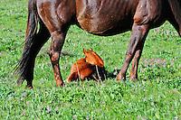 Horse with brand new foal near Cut Bank Creek Blackfeet Country
