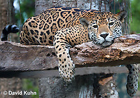 0522-1113  Goldman's Jaguar, Belize, Panthera onca goldmani  © David Kuhn/Dwight Kuhn Photography