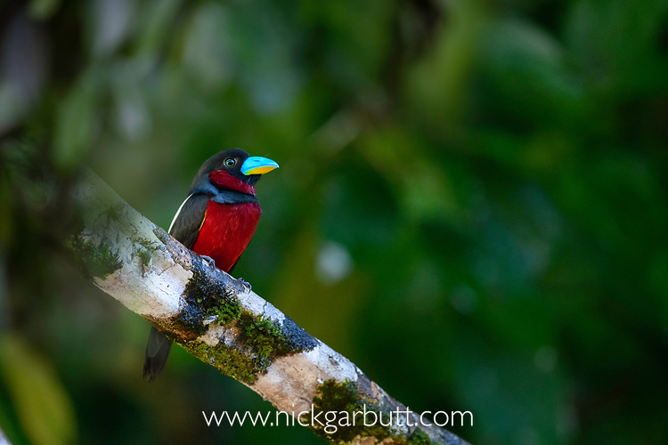 Adult black-and-red broadbill (Cymbirhynchus macrorhynchos). Kinabatangan River, Sabah, Borneo. (composite image)