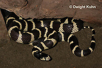 1R22-508z  California Kingsnake, Lampropeltis getulus californiae