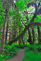 Vertical view of hiking trail leading under curved moss-draped Big Maple tree trunk in Quinault Rain Forest, Olympic National Park, Washington State
