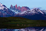 Chilean Flamingo (Phoenicopterus chilensis) flock and mountains, Torres del Paine National Park, Patagonia, Chile
