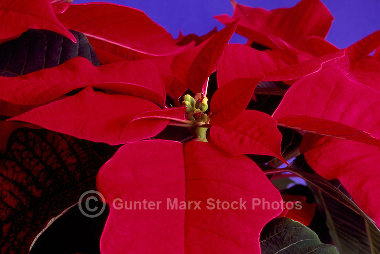 Red Poinsettia (Euphorbia pulcherrima), the Traditional Christmas Flower