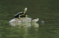 Red-eared Slider, Trachemys scripta elegans, adults sunbathing, Willacy County, Rio Grande Valley, Texas, USA, April 2004
