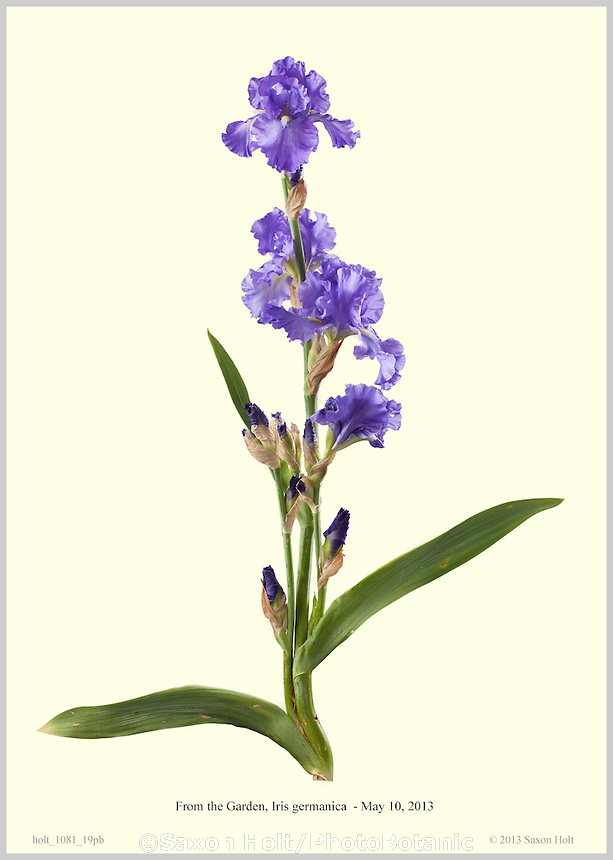 Photobotanic Illustration, From the Garden, Iris germanica, 'Blue Suede Shoes', Blue Iris flower