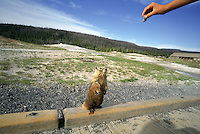 Tourists in Yellowstone National Park feed a beggin marmet. Yellowstone is the nations first National Park, it spans three states and holds 70% of the world's geothermal activity.