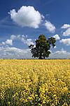 Great Britain, England, Kent, near Tunbridge Wells: Oak tree in middle of Oilseed rape field