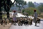 India, Rajasthan, near Udaipur: Rural scene of shepherds and goats on way to market | Indien, Rajasthan, bei Udaipur: zwei Hirten mit Ziegenherde auf dem Weg zum Markt