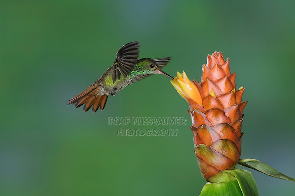 Rufous-tailed Hummingbird, Amazilia tzacatl, adult in flight feeding on Spiral Ginger (Costus Pulverulentus), Central Valley, Costa Rica, Central America, December 2006