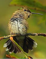 Subadult male ruby-throated hummingbird sunbathing