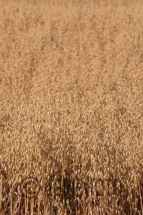 Oats fit to harvest <br /> ©Tim Scrivener Photographer 07850 303986<br />      ....Covering Agriculture In The UK....