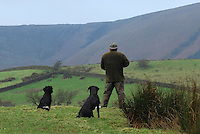 Beater on a pheasant shoot with Spaniel and Labrador dogs, Whitewell, Lancashire...Copyright John Eveson 01995 61280.j.r.eveson@btinternet.com