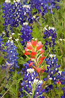 A digitally enhanced and manipulated fine art image of Indian Blanket, Castilleja indivisa Engelm, Wildflowers US HWY 290 Texas
