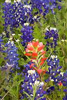 A digitally enhanced and manipulated fine art image of Indian Blanket, Castilleja indivisa Engelm, Wildflowers US HWY 290 Texas