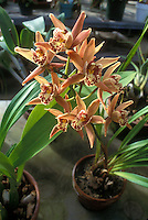 Miniature Cymbidiums blooming in small clay pot, showing entire plant habit with leaves