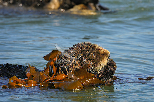 Sea Otter (Enhydra lutris) curling up in kelp.  Sea otters frequently tie up in kelp to keep from floating off with the tide.