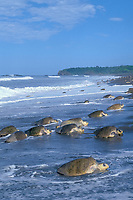 female olive ridley sea turtles, Lepidochelys olivacea, come ashore to nest during arribada ( mass nesting ) Ostional, Costa Rica, Pacific Ocean