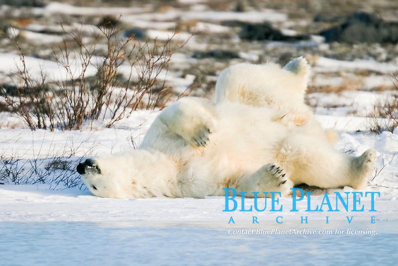 Adult male Polar Bear, Ursus maritimus, scratching his back/sleeping on ice near Churchill, northern Manitoba, Hudson Bay, Canada, polar bear, Ursus maritimus