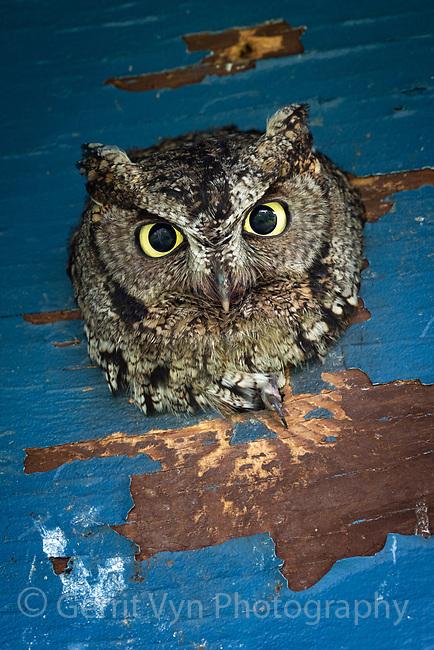 Western Screech-Owl (Megascops kennicottii). Multnomah County, Oregon. June.