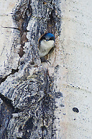 Tree Swallow,Tachycineta bicolor,adult female in nesting cavity in aspen tree, Rocky Mountain National Park, Colorado, USA, June 2007