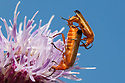 Pair of mating soldier beetles (Rhagonycha fulva), Peak District National Park, Derbyshire, UK. July.