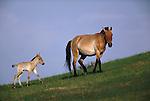 Przewalski's wild horse