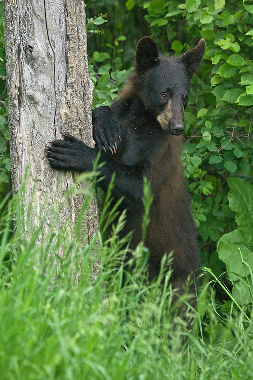 Young Black Bear leaning against a tree