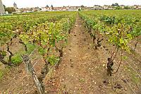 Vineyard. Chateau Nairac, Barsac, Sauternes, Bordeaux, France