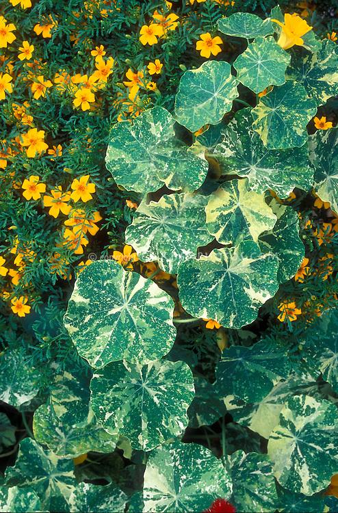 Tropaeolum 'Jewel of Africa' variegated nasturtium foliage & Tagetes 'Golden Gem' marigold