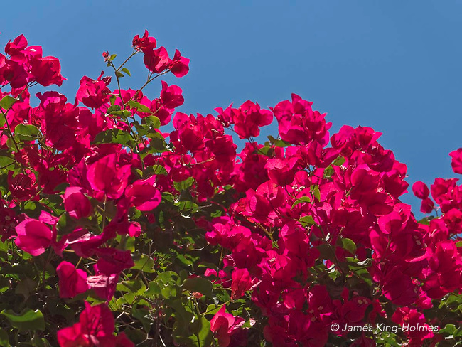 Magenta bracts of the bougainvillea glabra, an ornamental vine, seen in the Bishop's Garden in Palma, Mallorca, Spain. This species is often called the Paper Flowerbecause these bracts are this and papery.