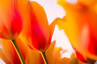 """""""Fringed Elegance"""" Tulip"""