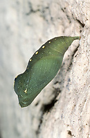 Mauerfuchs, Puppe, Lasiommata megera, Wall Brown, Wall Brown Butterfly, pupa, pupae
