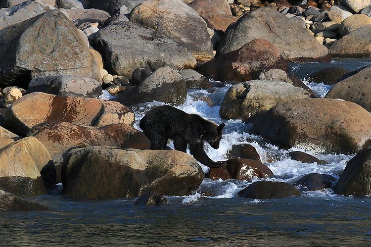A bear in Shiretoko National Park. Hokkaido. Japan.<br /> <br /> Un ours dans le parc national de Shiretoko. Hokkaido. Japon.