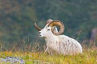 Dall sheep ram on a mountain ridge in Denali National Park, Interior, Alaska.