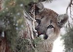 Daniel, an 8-month-old mountain lion cub, plays in his enclosure at the Animal Ark in Reno, Nev., on Friday, March 30, 2012. The wildlife sanctuary opens for its 31st season on Saturday..Photo by Cathleen Allison